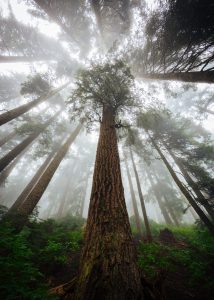 Redwood Monsoon